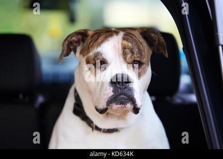 Grave bulldog americano en coche. Cabeza de bulldog americano blanco cerca.