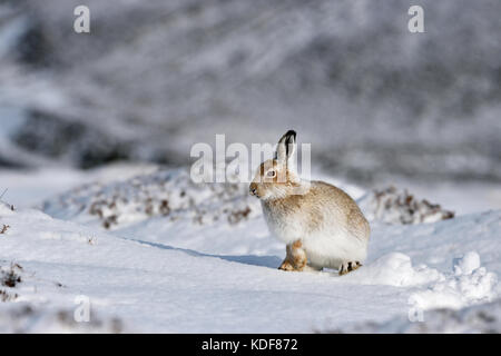 La liebre de montaña (Lepus timidus) UK