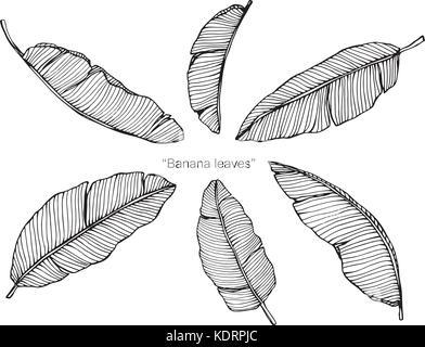 La línea dibujada a mano deja establecido el vector de uva, acacia ...