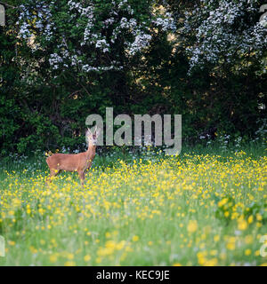 Un corzo en un campo de flores de primavera