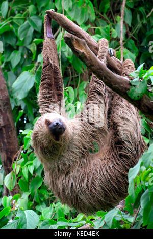 Linneo dos dedos cada sloth (Choloepus didactylus), cautiva, apariciones en el centro y el Norte de América del Sur