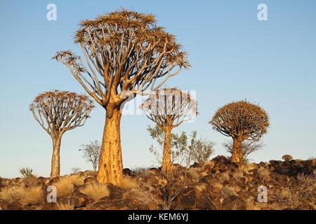 Temblar los árboles (Aloe dichotoma) en el carcaj de bosque de árboles, Namibia.