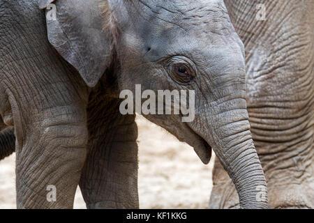 Cerca de tres semanas de edad lindo ternera en manada de elefantes asiáticos / El elefante asiático (Elephas maximus)