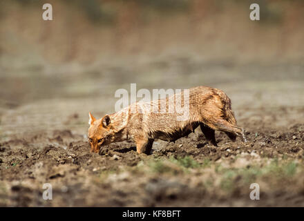 El Chacal, indio Canis aureus indicus, el parque nacional de Keoladeo Ghana, Bharatpur, Rajasthan, India