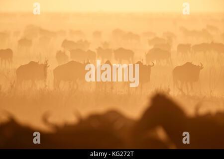 La migración, el ñu azul (connochaetes taurinus) y la cebra común (Equus burchelli), Parque Nacional de Serengueti, Tanzania, África oriental, África