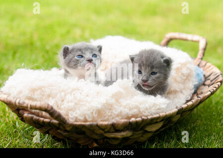 Dos sweety gatitos en cesta de madera antigua