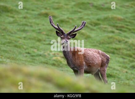Red Deer, Cervus elaphus, único varón adulto con astas de terciopelo en los pastos permanentes. Valle de Findhorn, Escocia, Reino Unido.