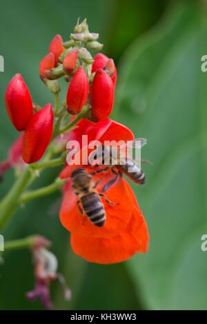 Las abejas de miel, Apis mellifera, cazando flores de color rojo brillante del fríjol, Berkshire, agosto