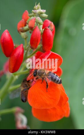 Abeja de miel, Apis mellifera, cazando flores de color rojo brillante del fríjol, Berkshire, agosto
