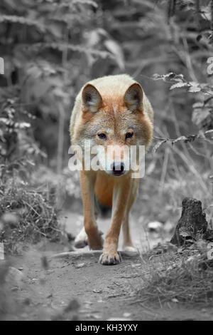 Timber Wolf de caza en el bosque. La fotografía en blanco y negro con color wolf
