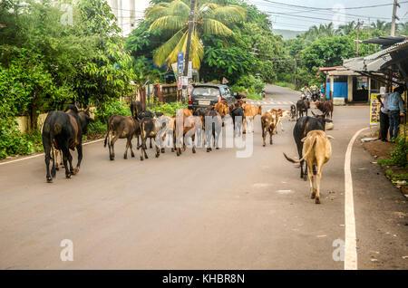 Las vacas en una carretera en Goa, India