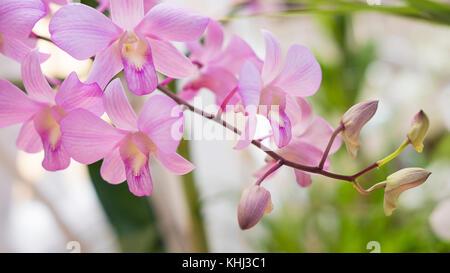 Rosa pálido clásico de orquídeas dendrobium, planta exótica, que se encuentra en climas tropicales o subtropicales