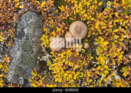"""""""Bolete (Boletus sp) setas en tundra en otoño, carretera Dempster, Yukon, Canadá"""""""