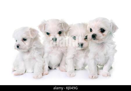 Maltés cachorros perros delante de un fondo blanco Foto de stock