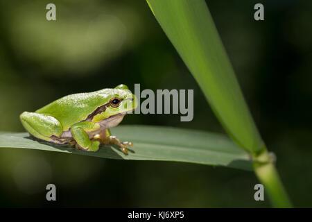 Europäischer Laubfrossch sonnt sich, Laub-Frosch, Frosch, Hyla arborea, rana de árbol europea, rana de árbol común, rana de árbol centroeuropea