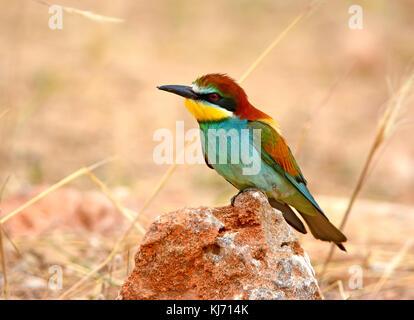 Unión abejarucos (Merops apiaster) sentada sobre una roca