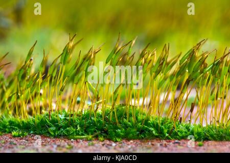 Jóvenes de pared sporophytes screw-Moss, tortula muralis, creciendo desde el gametophyte cojín en el muro de un jardín Foto de stock