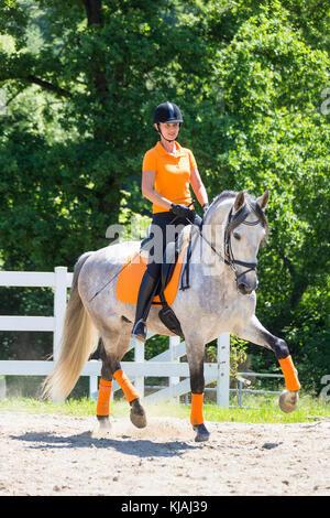 Puro Caballo Español, andaluz. Jinete con menores semental gris al trote sobre un caballo. Austria