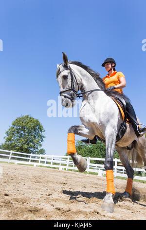 Puro Caballo Español, andaluz. Jinete con menores semental gris galopando en un caballo. Austria