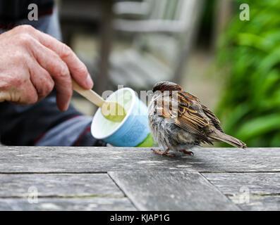 Un joven gorrión (Passer domesticus) siendo Spoon Fed helado Foto de stock