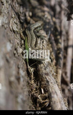 Lacerta Zootoca vivipara, lagarto común cara a lo largo de un tronco de árbol, tumbado junto a una germinación de plántulas de pasto.