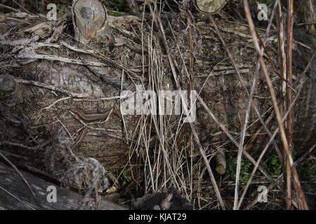 Lacerta Zootoca vivipara, 3 Común lagartijas, 2 jóvenes y un adulto, en el árbol de descomposición del tronco, tendido en el suelo