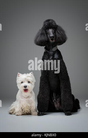 Hermosa caniche negro y westie perros sobre fondo gris Foto de stock