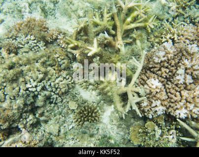 En la gran variedad de coral reef astrolabio en las aguas del océano Pacífico frente a la costa de la isla de dravuni, Fiji