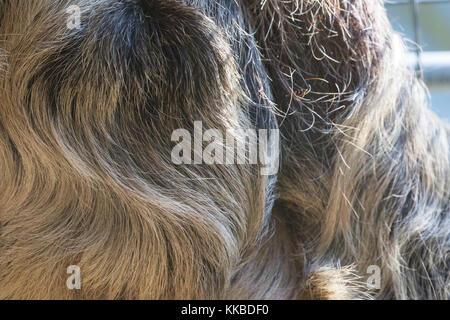 Linneo dos dedos cada sloth - choloepus didactylus - fur closeup. También conocido como espécimen cautivo unau.. centro de rehabilitación, no se puede liberar.