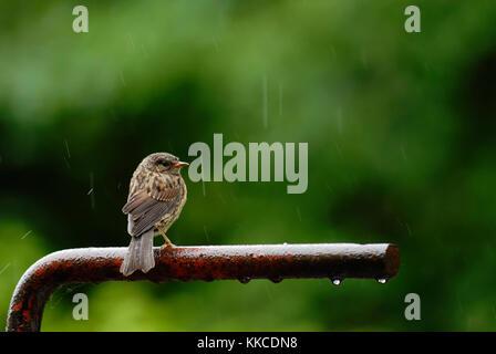 Los jóvenes Dunnock, cobertura o Accentor Sparrow, Prunella modularis de lluvia en verano, Wales, REINO UNIDO