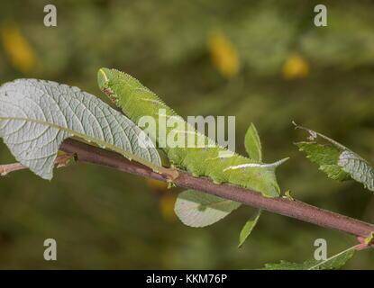 Caterpillar de eyed hawk-moth, Smerinthus ocellata sobre hojas de sauce. Dorset.