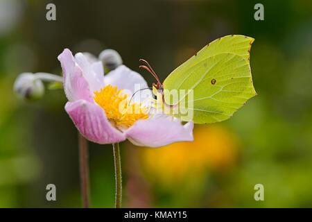 Un amarillo Brimstone Butterfly ( Gonepteryx rhamni ) alimentándose de néctar de una anémona japonesa de floración.