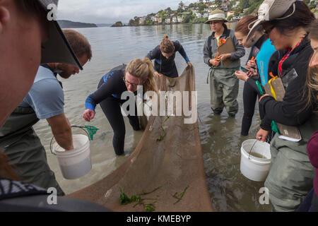 Clase de Ecología de los humedales, Universidad Estatal de San Francisco, Tiberon, CA.los estudiantes utilizaron un sena para buscar la vida animal en los lechos de hierba de los aleros.