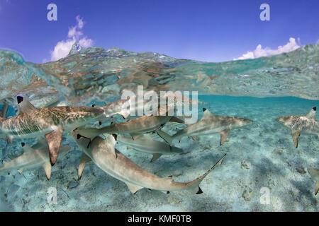 Over/under de Blacktip tiburones de arrecife en una laguna, en la Polinesia Francesa.
