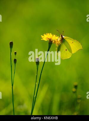 Brimstone succionar el néctar de la flor, suave y fondo verde.