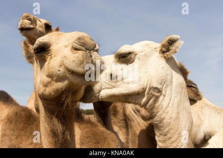 Gracioso, jinetes de camellos besándose