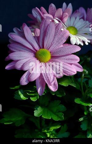 Blanco y rosa Margarita Osteospermum o Cabo Daisy fondos ...
