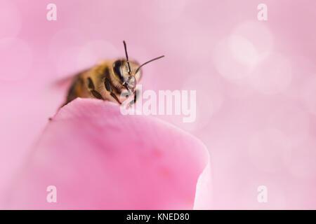 Miel de abejas recogiendo polen de flores.La fotografía macro.Concepto de naturaleza.