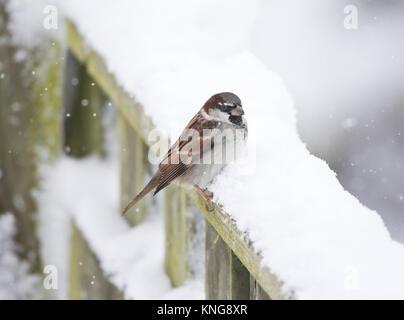 Gorrión (Passer domesticus), en una valla cubiertos de nieve, Gales, diciembre de 2017