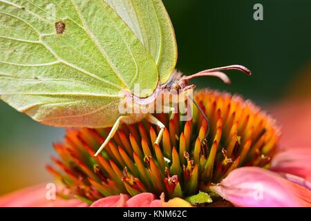 Un amarillo Brimstone Butterfly, Gonepteryx rhamni, alimentándose de una flor, cierre con su ojo y proboscis.