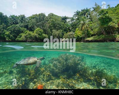 Por encima y por debajo de la superficie del mar, costa tropical exuberante con coral y una tortuga de mar verde bajo el agua, mar Caribe, Centroamérica
