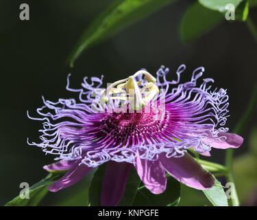 Violeta pasionaria (Passiflora incarnata) es también llamado Maypop, salvaje pasión vid silvestre, albaricoque, y pasionaria