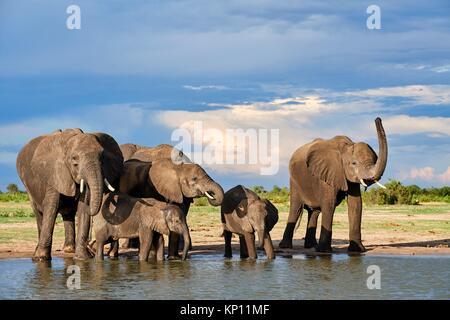 Grupo de elefante africano (Loxodonta africana), bebiendo en una watehole. El Parque Nacional de Hwange (Zimbabwe). Foto de stock