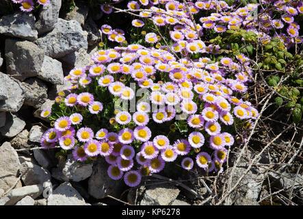 Playa costera aster o Fleabane Erigeron Daisy - glaucus creciendo entre cantera de bloques de piedra de Portland en Portland Bill en Dorset, Reino Unido