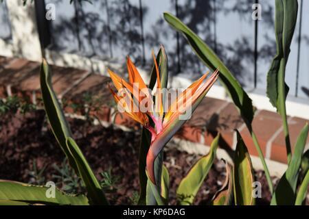 Ave del Paraíso flor en el jardín