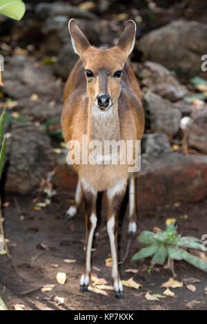El bushbuck (Tragelaphus scriptus), Letaba Camp, el Parque Nacional Kruger, Transvaal, Sudáfrica.