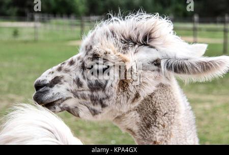 Llama, alpaca con gracioso peinado zoo Letonia