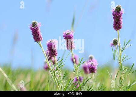 Flores Silvestres de Colorado - Flores de trébol violeta, pradera, Dalea purpurea.