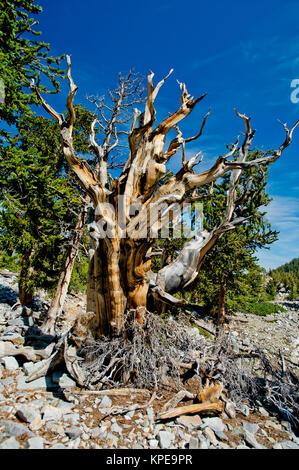 Pino bristlecone (Pinus longaeva) en el Parque Nacional de la Gran Cuenca Nevada. Más antiguas conocidas no clonal de organismo sobre la tierra.