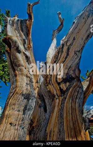 Pino bristlecone (Pinus longaeva) en el Parque Nacional de la Gran Cuenca Nevada. Más antiguas conocidas no clonal de organismo sobre la tierra